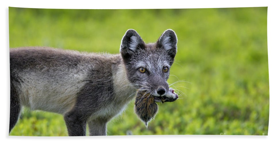 Arctic Fox Bath Sheet featuring the photograph 111130p047 by Arterra Picture Library