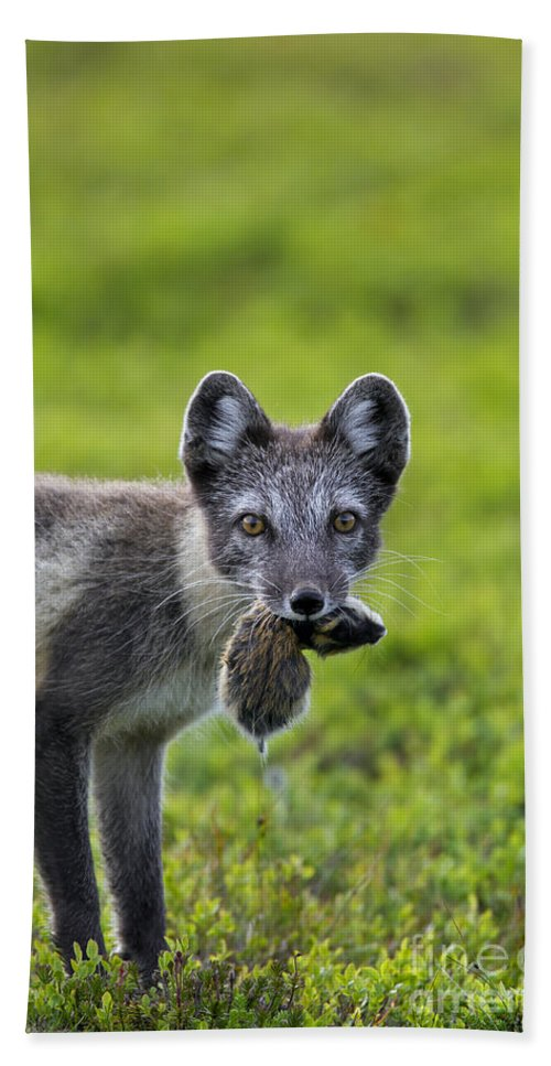 Arctic Fox Bath Sheet featuring the photograph 111130p048 by Arterra Picture Library