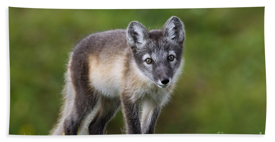 Arctic Fox Bath Sheet featuring the photograph 111216p021 by Arterra Picture Library
