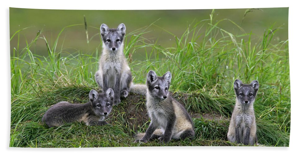 Arctic Fox Bath Sheet featuring the photograph 111216p022 by Arterra Picture Library