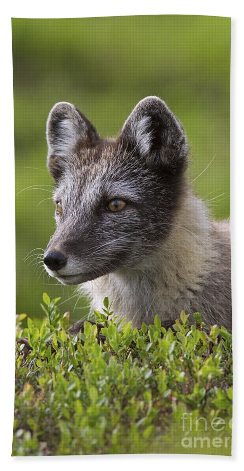 Arctic Fox Bath Sheet featuring the photograph 111216p030 by Arterra Picture Library
