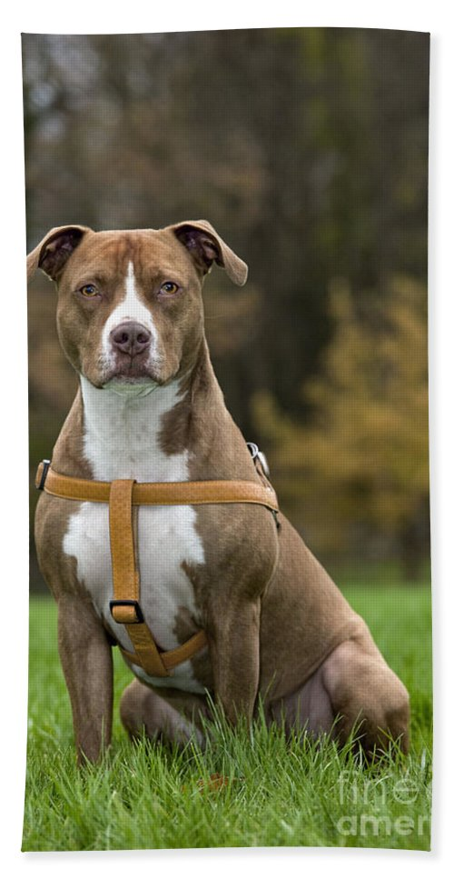 American Staffordshire Terrier Bath Sheet featuring the photograph 111216p247 by Arterra Picture Library