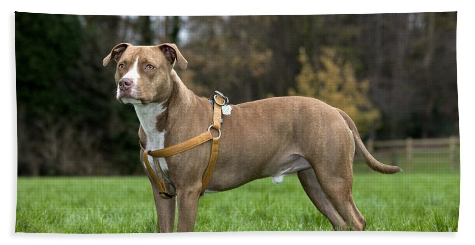 American Staffordshire Terrier Bath Sheet featuring the photograph 111216p248 by Arterra Picture Library