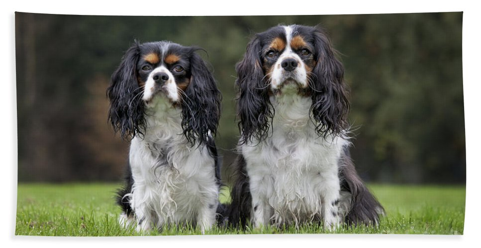 Cavalier King Charles Spaniel Bath Sheet featuring the photograph 111216p253 by Arterra Picture Library