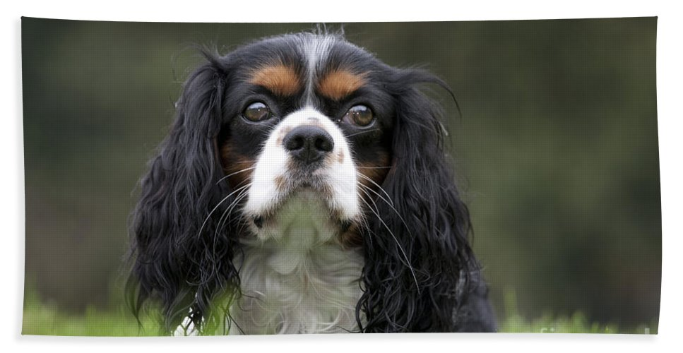 Cavalier King Charles Spaniel Bath Sheet featuring the photograph 111216p256 by Arterra Picture Library