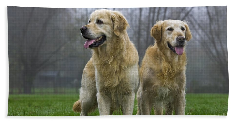Golden Retriever Hand Towel featuring the photograph 111230p057 by Arterra Picture Library