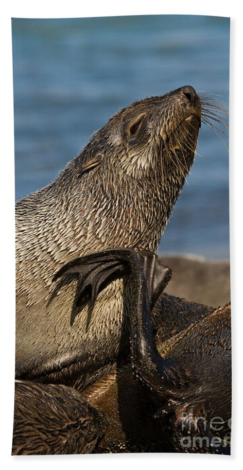 Antarctic Fur Seal Bath Sheet featuring the photograph Antarctic Fur Seal by John Shaw
