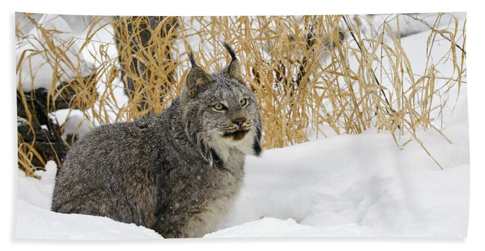 Lynx Canadensis Bath Sheet featuring the photograph Canadian Lynx by John Shaw