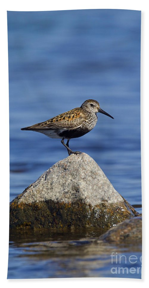 Calidris Alpina Bath Towel featuring the photograph 121213p019 by Arterra Picture Library