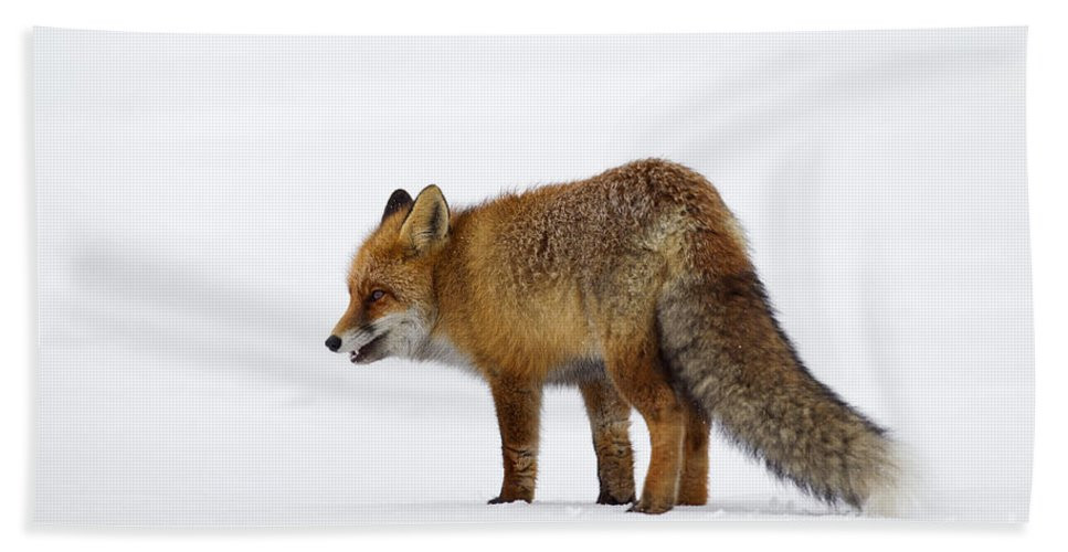 Red Fox Hand Towel featuring the photograph 130201p056 by Arterra Picture Library