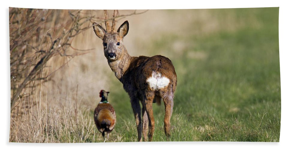 Common Pheasant Bath Towel featuring the photograph 130201p187 by Arterra Picture Library