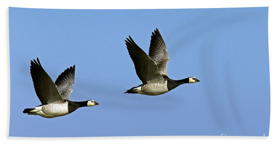 Barnacle Goose Hand Towel featuring the photograph 130215p250 by Arterra Picture Library