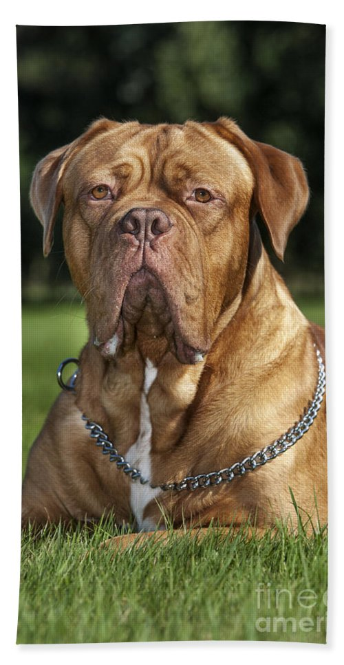 Dogue De Bordeaux Hand Towel featuring the photograph 130918p004 by Arterra Picture Library