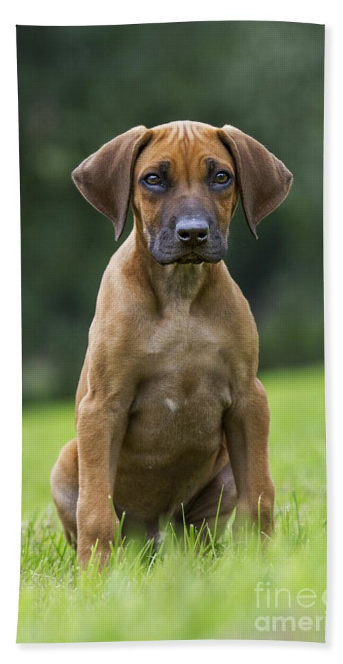 Rhodesian Ridgeback Hand Towel featuring the photograph 130918p305 by Arterra Picture Library
