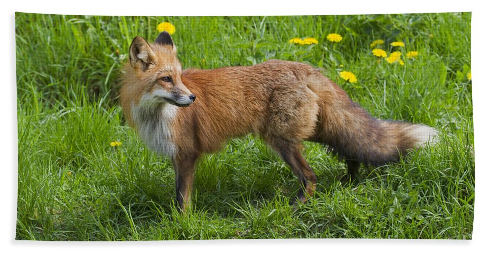 Red Fox Hand Towel featuring the photograph 131018p147 by Arterra Picture Library