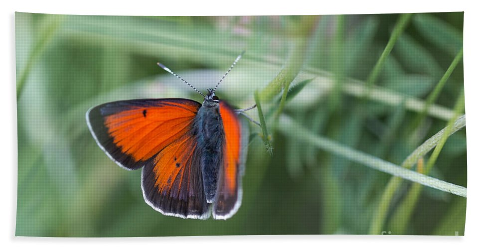 Balkan Copper Butterfly Bath Sheet featuring the photograph 14 Balkan Copper Butterfly by Jivko Nakev