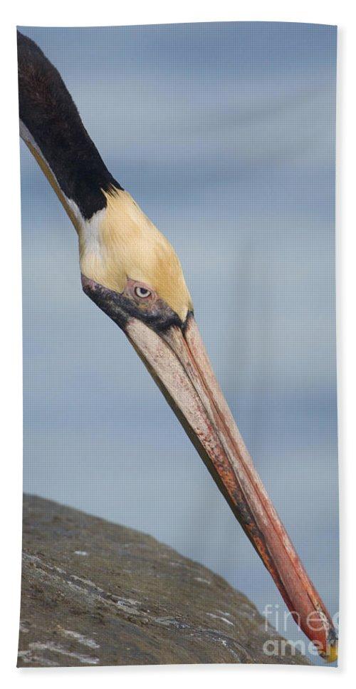 Brown Pelican Bath Sheet featuring the photograph Brown Pelican by John Shaw