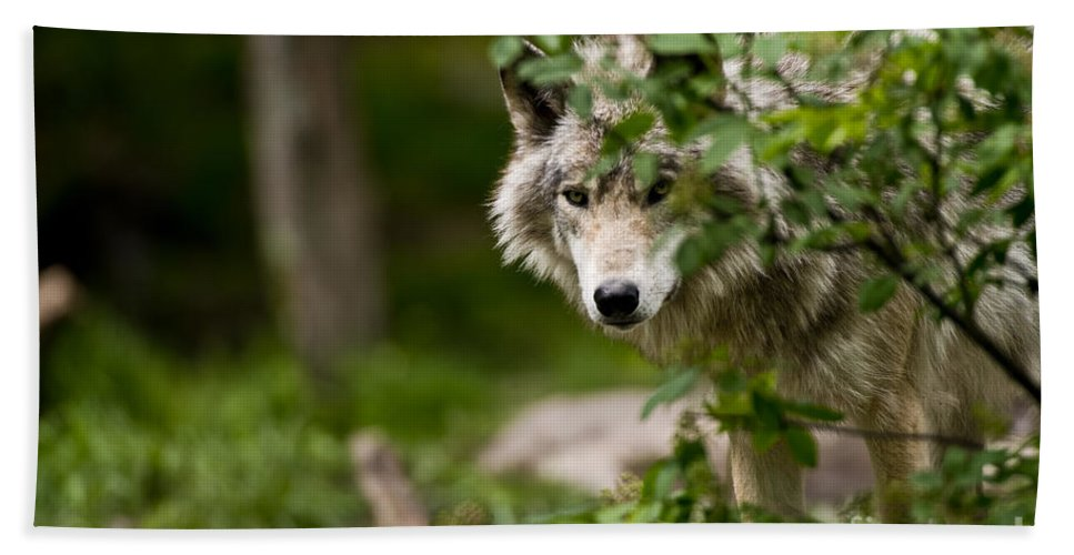 Timber Wolf Photography Hand Towel featuring the photograph Timber Wolf Pictures by Wolves Only