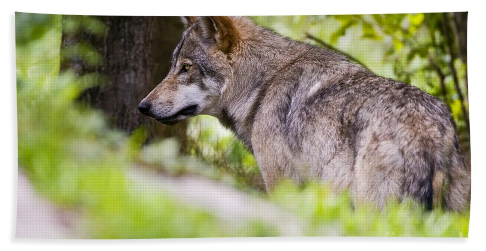 Timber Wolf Photography Hand Towel featuring the photograph Timber Wolf by Wolves Only