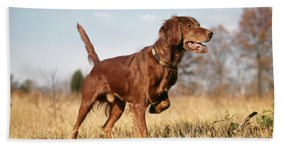 Photography Bath Towel featuring the photograph 1960s Irish Setter Hunting Dog On Point by Vintage Images