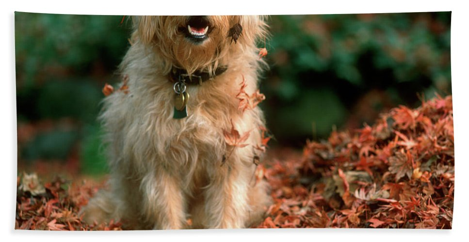 Photography Bath Towel featuring the photograph 1980s Shaggy Beige And White Dog by Vintage Images