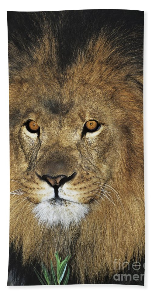 African Lion Bath Sheet featuring the photograph African Lion Portrait Wildlife Rescue by Dave Welling