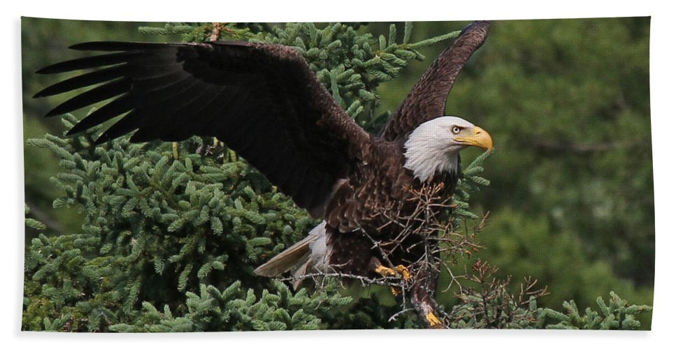 Maine Wildlife Bath Sheet featuring the photograph American Bald Eagle by Sharon Fiedler