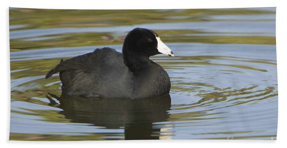 Nature Bath Sheet featuring the photograph American Coot by John Shaw