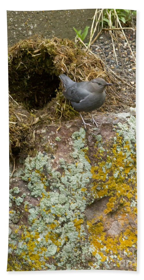 American Dipper Hand Towel featuring the photograph American Dipper And Nest  #1487 by J L Woody Wooden