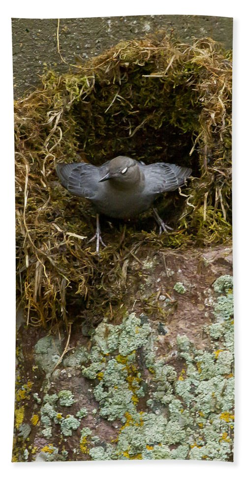 American Dipper Hand Towel featuring the photograph American Dipper And Nest  #1538 by J L Woody Wooden