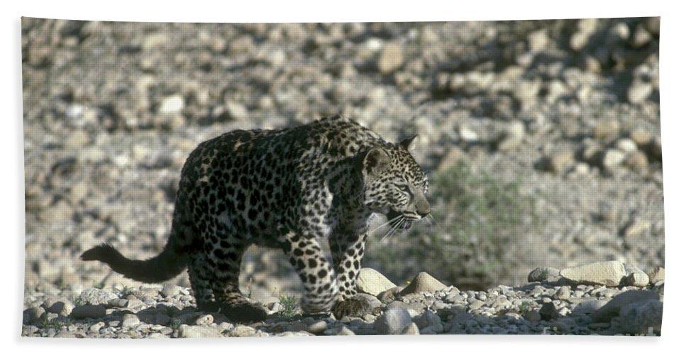 Leopard Bath Towel featuring the photograph Arabian Leopard Panthera Pardus 1 by Eyal Bartov