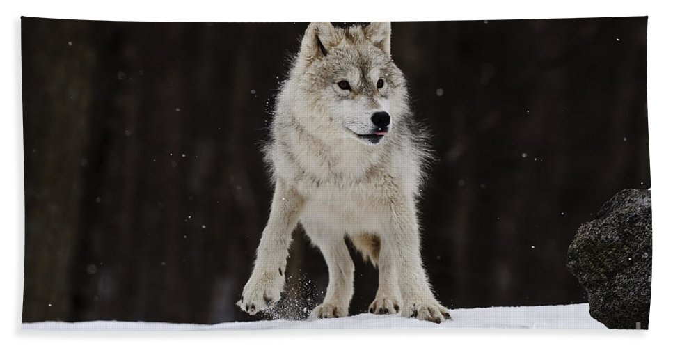 Arctic Wolf Photography Bath Sheet featuring the photograph Arctic Wolf by Wolves Only