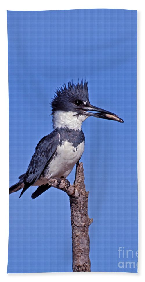 Belted Kingfisher Hand Towel featuring the photograph Belted Kingfisher With Fish by Anthony Mercieca