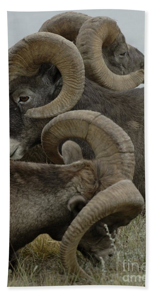 Big Horn Sheep Bath Sheet featuring the photograph Big Horn Sheep by Bob Christopher