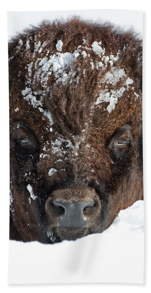 American Bison Hand Towel featuring the photograph Bison In Snow by Max Waugh