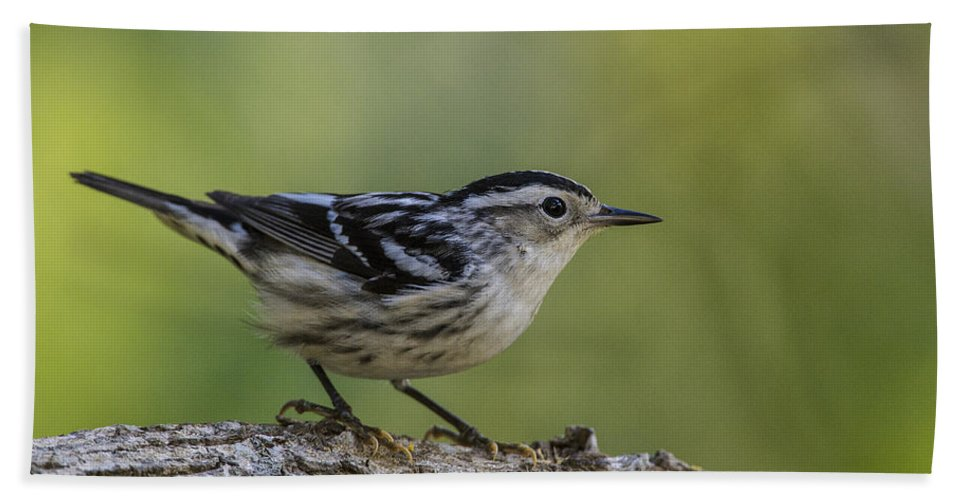 Doug Lloyd Hand Towel featuring the photograph Black And White Warbler by Doug Lloyd