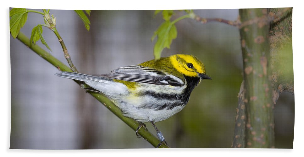 Animal Bath Sheet featuring the photograph Black Throated Green Warbler by Jack R Perry