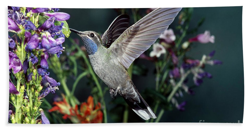 Blue-throated Hummingbird Hand Towel featuring the photograph Blue-throated Hummingbird by Anthony Mercieca