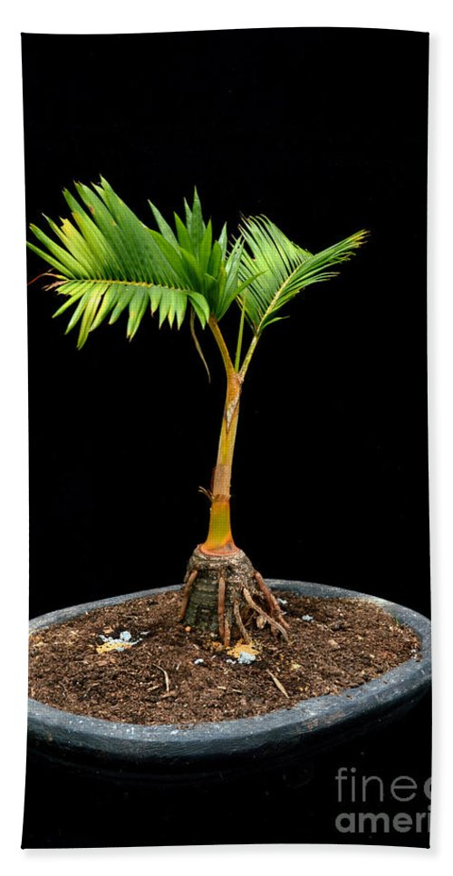 Plant Bath Sheet featuring the photograph Bonsai Palm Tree by Antoni Halim