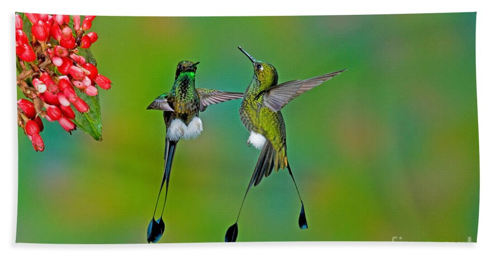 Fauna Hand Towel featuring the photograph Booted Racket-tail Hummingbird Males by Anthony Mercieca