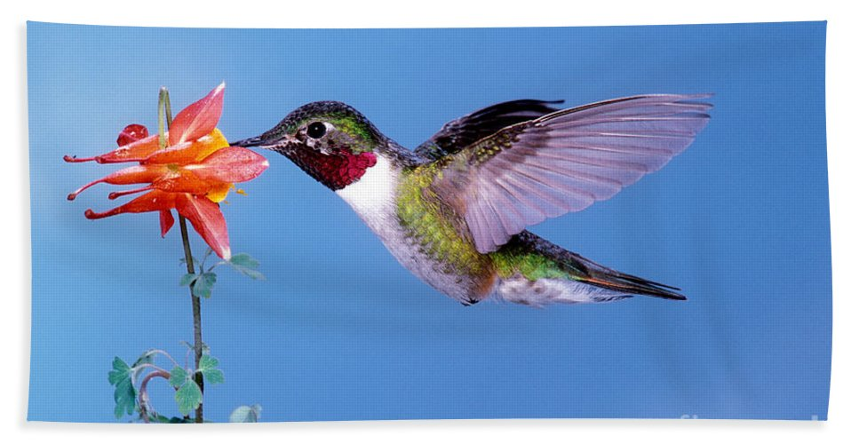 Broad-tailed Hummingbird Hand Towel featuring the photograph Broad-tailed Hummingbird by Anthony Mercieca