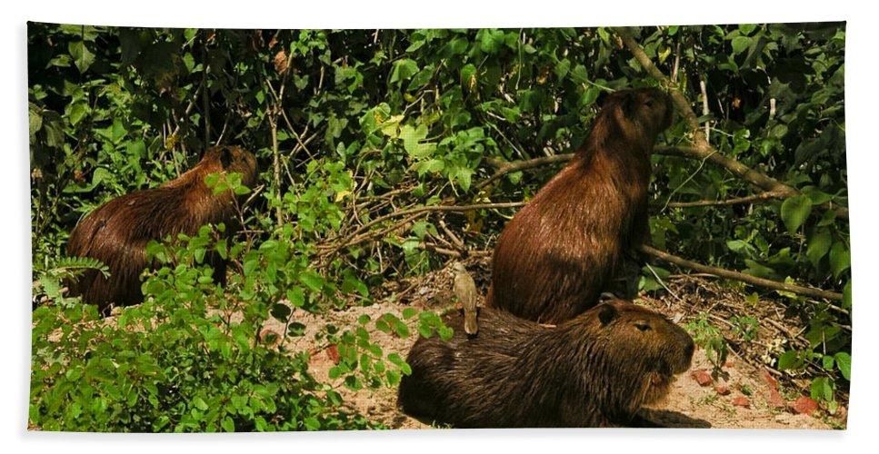 Animals Bath Sheet featuring the digital art Capybara by Carol Ailles