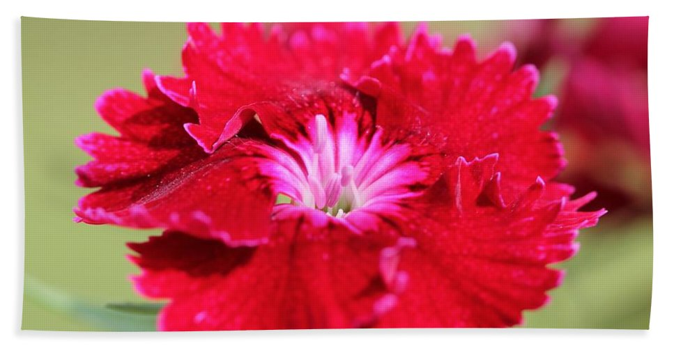 Mccombie Hand Towel featuring the photograph Cherry Dianthus From The Floral Lace Mix by J McCombie