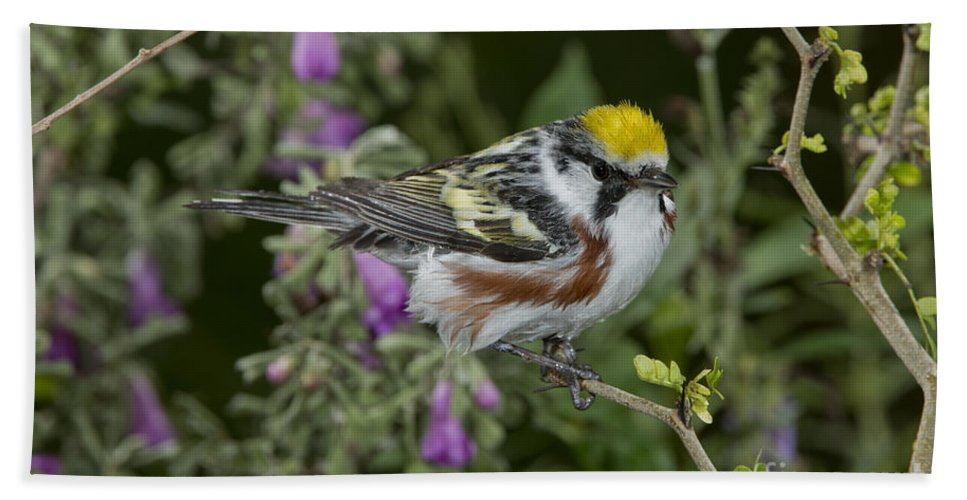 Chestnut-sided Warbler Hand Towel featuring the photograph Chestnut-sided Warbler by Anthony Mercieca