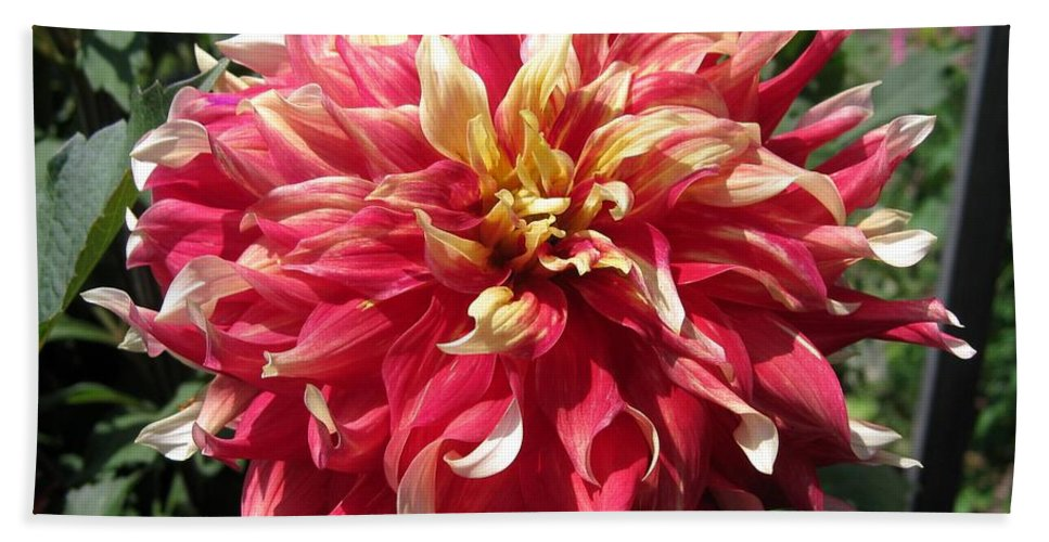 Mccombie Hand Towel featuring the photograph Dahlia Named Bodacious by J McCombie