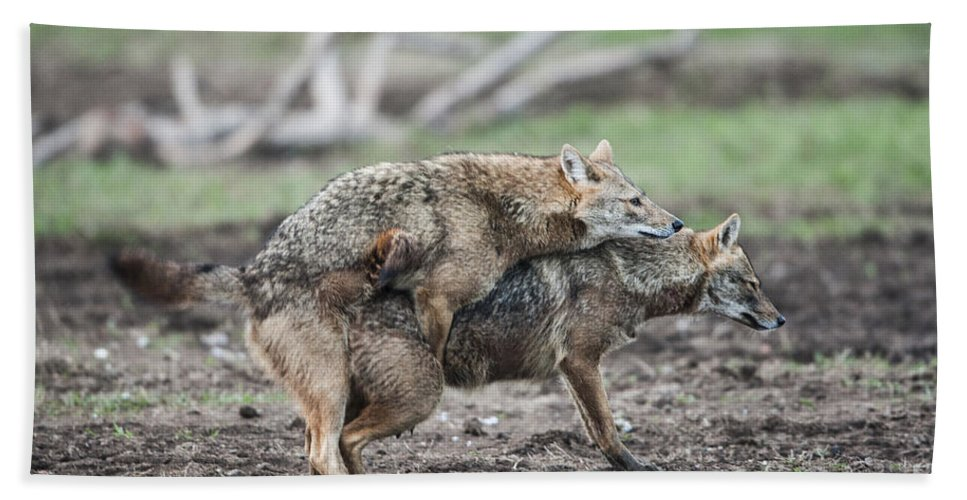 Mating Hand Towel featuring the photograph Golden Jackal Canis Aureus by Eyal Bartov