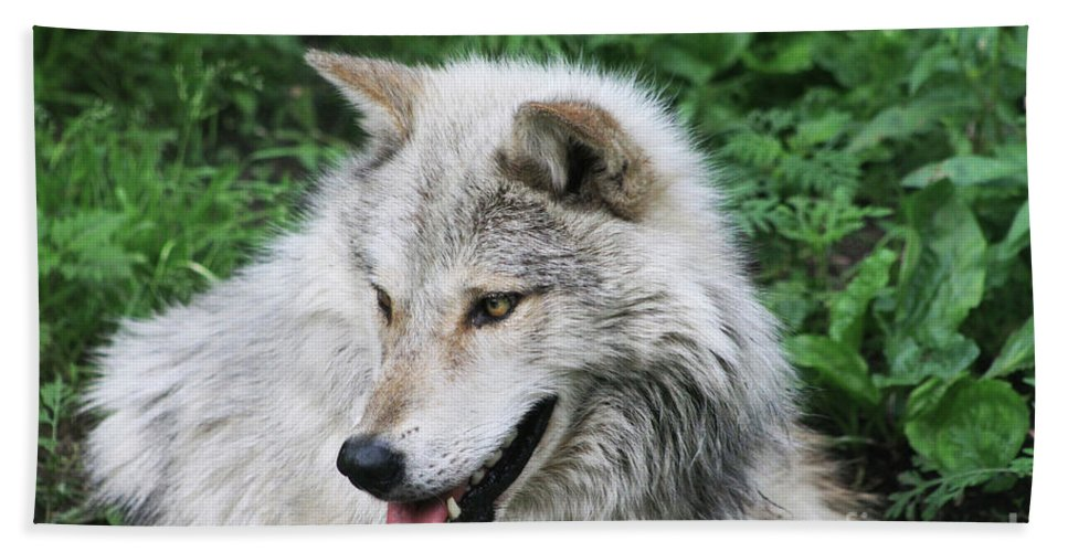 Animal Bath Sheet featuring the photograph Gray Wolf by Alyce Taylor