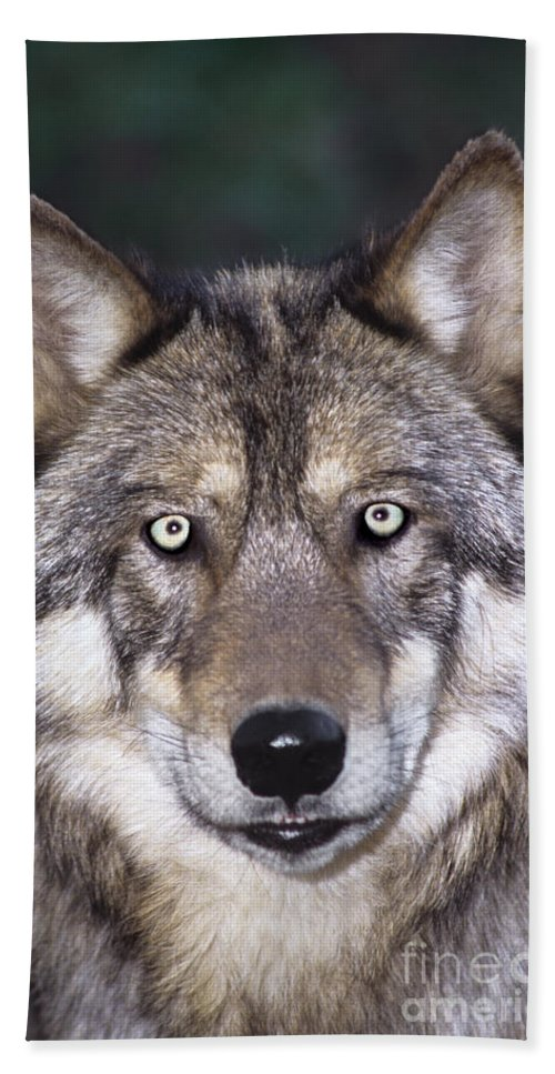 Gray Wolf Bath Sheet featuring the photograph Gray Wolf Portrait Endangered Species Wildlife Rescue by Dave Welling
