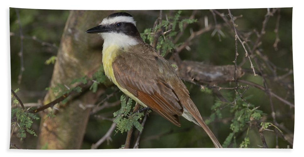 Great Kiskadee Hand Towel featuring the photograph Great Kiskadee by Anthony Mercieca