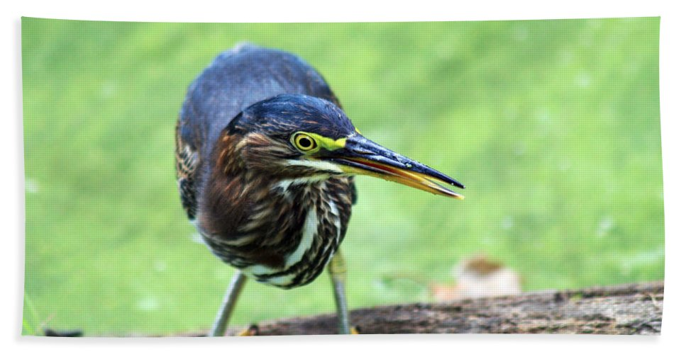Photo Frames Hand Towel featuring the photograph Green Heron by CE Haynes